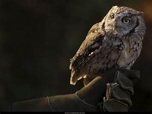 Western Screech Owl 3 by SalsolaStock on deviantART