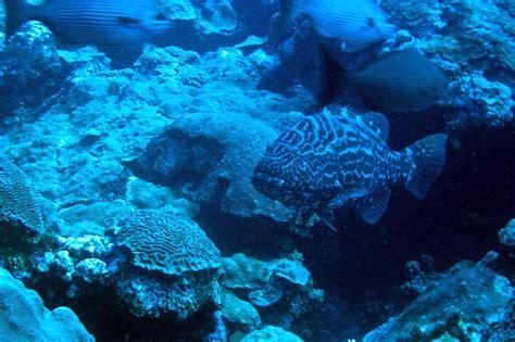 grouper noaa flower banks garden national sanctuary marine ocean service