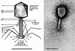 Myoviridae - Figures - Dsdna Viruses
