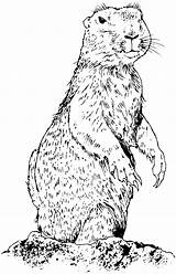 Prairie Dog Coloring Dogs Animals Pages Prarie Drawings Standing Wildlife Keywords Suggestions Amp Related Realistic Getcoloringpages Popular sketch template