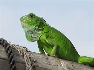 Green Iguana - Chadwell Animal Hospital