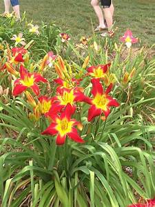 Photo Of The Entire Plant Of Daylily Hemerocallis 39All