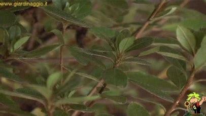 azalea coltivazione in vaso azalee in vaso piante da giardino