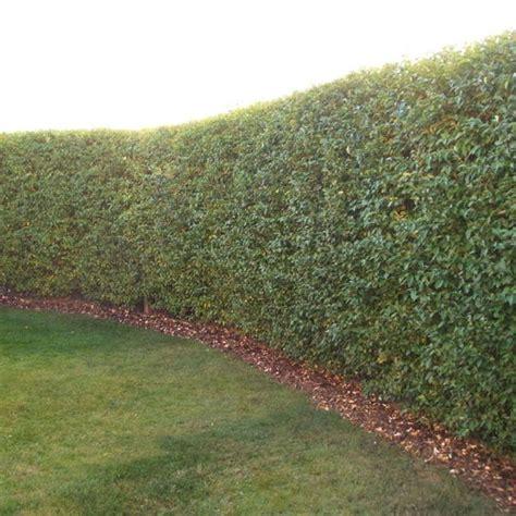 privet hedge ligustrum ovalifolium www pixshark com images galleries with a bite