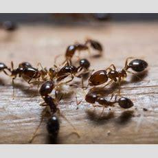 Ameisen Bekämpfen  Tipps Und Tricks Mit Einfachen Mitteln