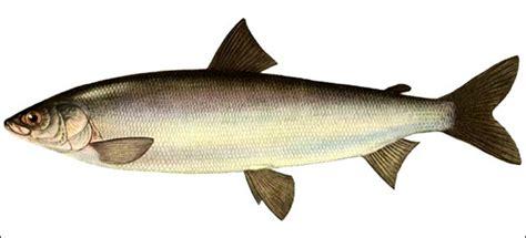 types  siberian fish lead  world  richness