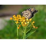 1000  Images About Asclepias On Pinterest Gardens Plugs