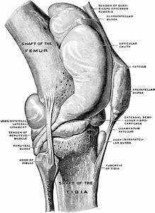 Knee Joint From Lateral Surface