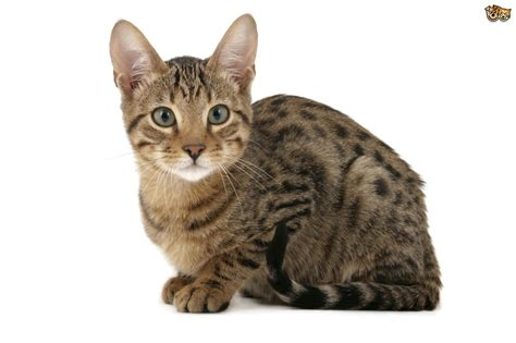cat domestic breeds wild relatives pet serengeti pets4homes