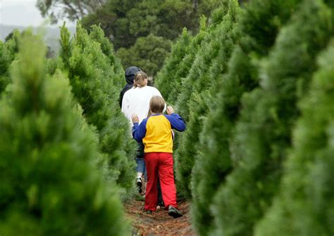 christmas trees with farms for sale bucks county tree farms paul rosso