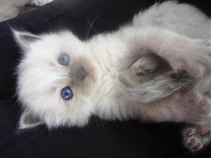 Ragdoll Cat Breed – 20 Beautiful Ragdoll Images to Melt ...