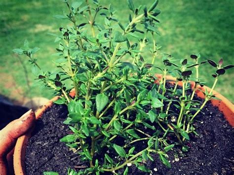 What Does by What Does Thyme Look Like A Useful Guide For Growing Thyme