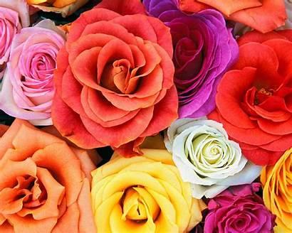 Flowers Roses Background Desktop Backgrounds Wallpapers Computer