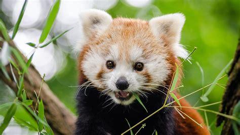 Adorable Animal Wallpapers - panda adorable animal wallpaper wallpaper