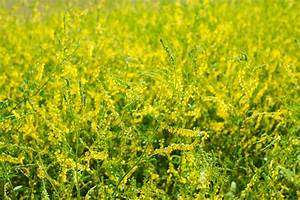 Sweet Clover for Varicose Veins: Yes or No ...
