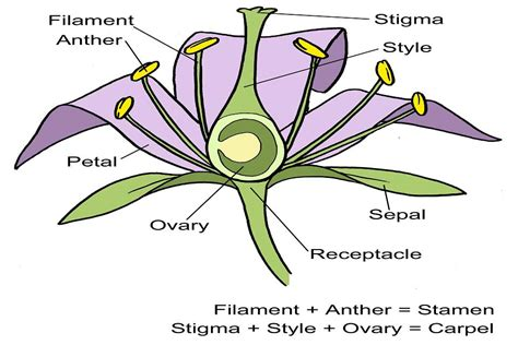 Diagram Of Flower Part by Flower Structure Diagram Rhs Caign For School Gardening