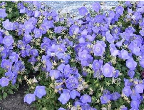 blue ground cover flowers canula carpatica blue ground cover plants pinterest