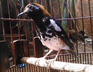 Download suara burung decu kembang (kacer. Decu Kembang Jantan Dan Betina / Jual Decu Murah Harga Terbaru 2021 / Tips membedakan decu ...