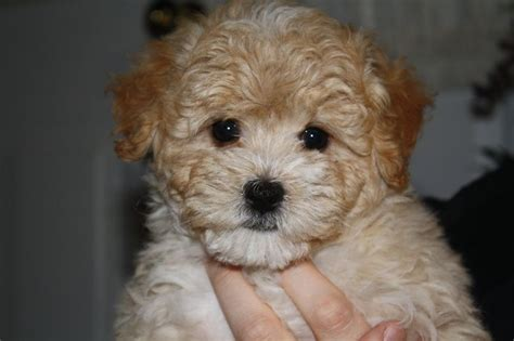 maltipoo facts maltipoos dog dogs animals interesting zone puppies cute colors haircuts toy memes maltese poodle sizes yorkshire they bear