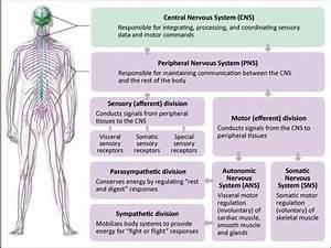 Physiological Basis Of Adrenergic Pharmacology