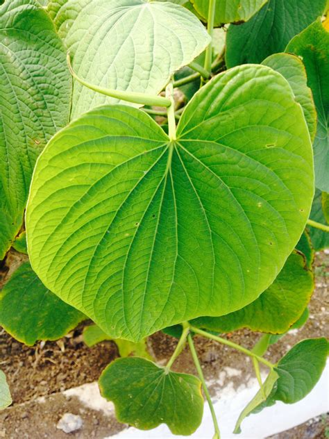Kava plant leaf. - The Kava House Vanuatu
