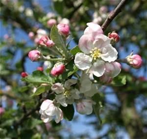Wieviel Frost Verträgt Die Obstblüte : obstbl te news ~ Frokenaadalensverden.com Haus und Dekorationen