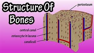 Structure Of Bone Tissue - Bone Structure Anatomy - Components Of Bones