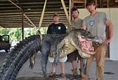 Caught Giant Alligators Break Records; How Big Do Gators ...