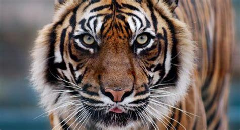 tigers defenders  wildlife