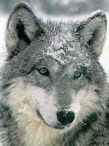Symbole Du Loup : http ~ Melissatoandfro.com Idées de Décoration