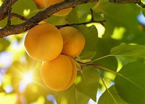 Zone 4 Apricot Trees - Growing Cold Hardy Apricot Trees In ...