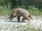 Giant Armadillo Information, Habitat, Adaptations, Pictures