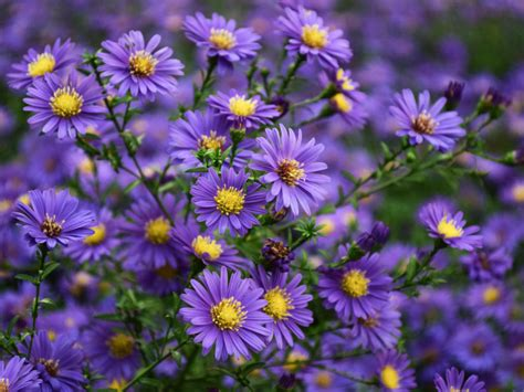 asters purple yellow flowers ornamental plants  family
