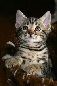 baby bengal cat bengal kitten bengal cats and kittens