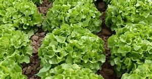 Salat Pflanzen Abstand : schnittsalat pflanzen pflege und tipps mein sch ner garten ~ Markanthonyermac.com Haus und Dekorationen