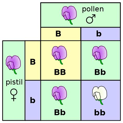 Mendel carried out a dihybrid cross to examine the inheritance of the characteristics for seed color and seed shape. What is a Punnett square