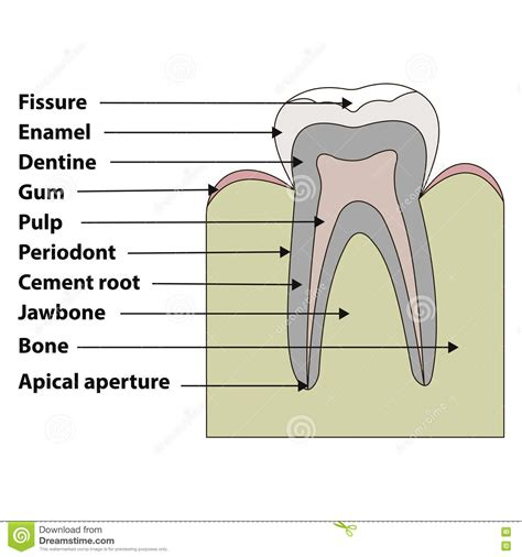 Tooth Bone Diagram by Structure Tooth Vector Illustration Cartoondealer