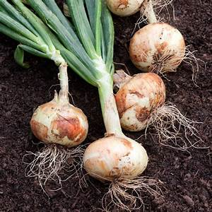 White Sweet Spanish Onion  Long Day  Good For Scallions