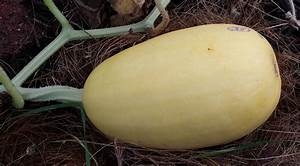 Harvest and Store Spaghetti Squash – Crazy for Gardening