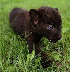 Panthers Animal Cubs