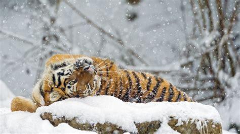 Snow Animal Wallpaper - wallpaper tiger animals snow winter 4k animals