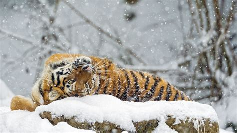 Wallpaper tiger cute animals snow winter 4k Animals