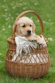 Golden Retriever Puppy Basket