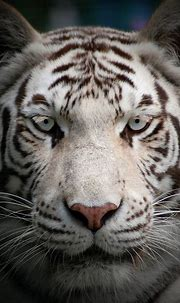 White tiger at Paradise Wildlife Park - ZooChat