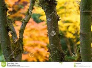 Achat Tronc Arbre Decoratif : branches et tronc d 39 arbre d 39 rable avec des feuilles de ~ Zukunftsfamilie.com Idées de Décoration