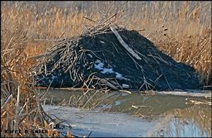 Beaver Lodge Constructed With Primarily Mud And Herbaceous Material In