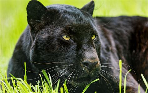 Free Panther, Download Free Clip Art, Free Clip Art On