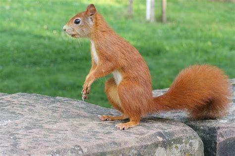 squirrel animals wild  photo  pixabay
