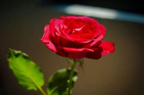 bunga mawar mendapat julukan ratunya bunga