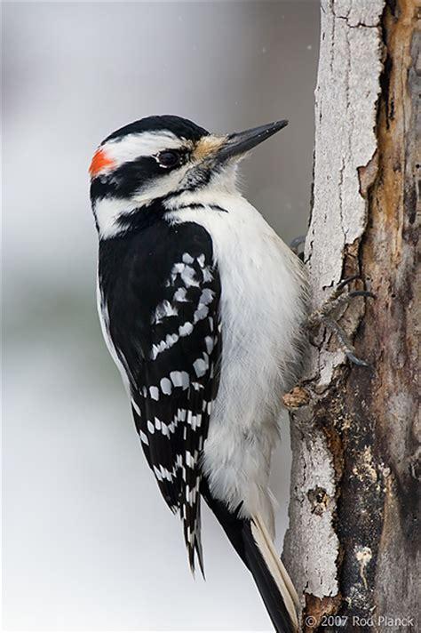 hairy woodpecker picodes villosus spring michigan
